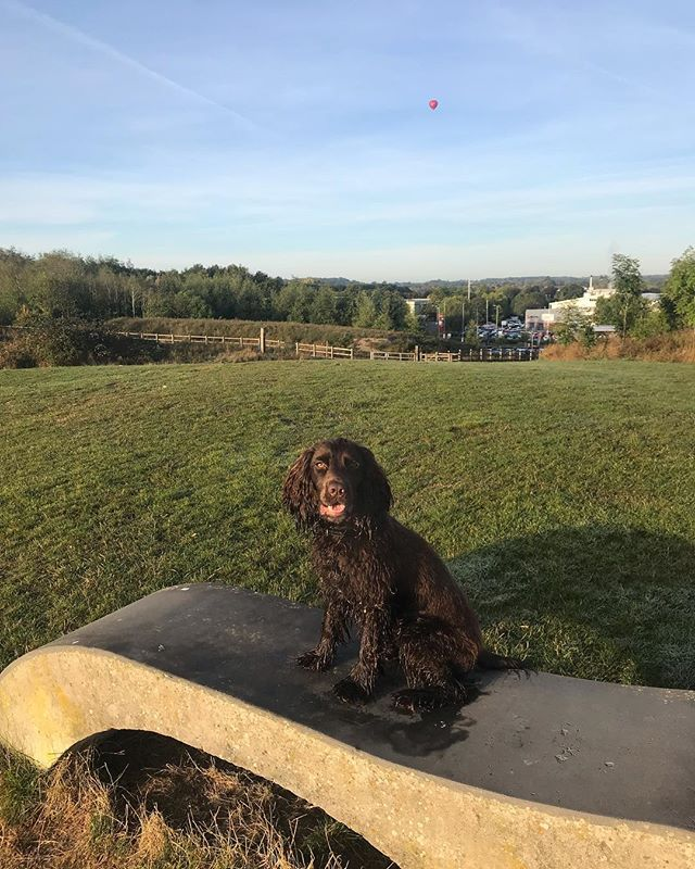 I wonder if @virginexperiencedays will let me have a go in the hot air ballon? 🎈we spotted this one yesterday morning on our walk 🐕 #dogfriendly #virginexperiencedays #hotairballoon #spanielsofinstagram #dogsofinstagram #dogstagram #sprockerspaniel #dogmodel #explorer #dogoftheday #swindon