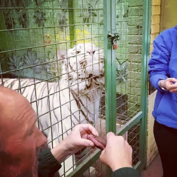 Quite simply.... AMAZING!!!!! Nothing prepares you for being this close. We thought we were close when we walked around but this was something else!!!! Best Christmas present ever! Thanks @composar222 😍😍 #paradisepark #broxbourne #hertfordshire #bengal #whitetiger #tiger #feedthetigers #upclose #feelthebreath #kitten #cat #white #amazing #bucketlist #conservation #education #bigcat #bigcatexperience #virgin #virginexperience #rawmeat #scary #adrenaline #beautiful #wildlife #rare #noneinthewild